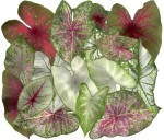 Caladium Holiday, scanography collage